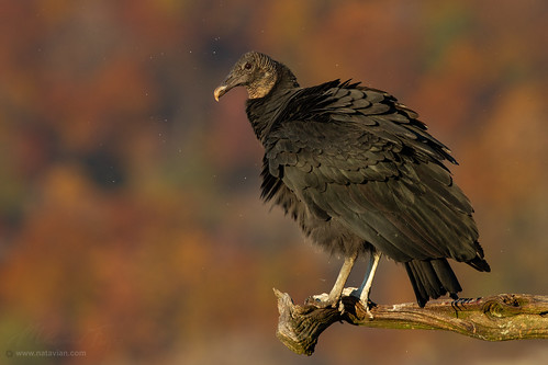 Black Vulture with Fall foliage