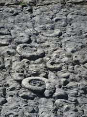 Ammonites (Coroniceras multicostatum) - Dalle aux Ammonites (Digne-les-Bains, Francia) - 15
