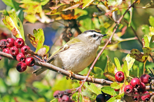 Golden-crowned Kinglet 18-1013-4911