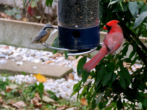 red-breasted nuthatch & cardinal