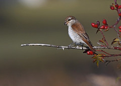 Red Backed Shrike 3
