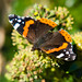 Red admiral butterfly feeding on an ivy flower