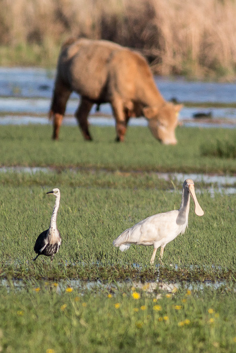 White-necked Heron and Yellow-billed Spoonbill