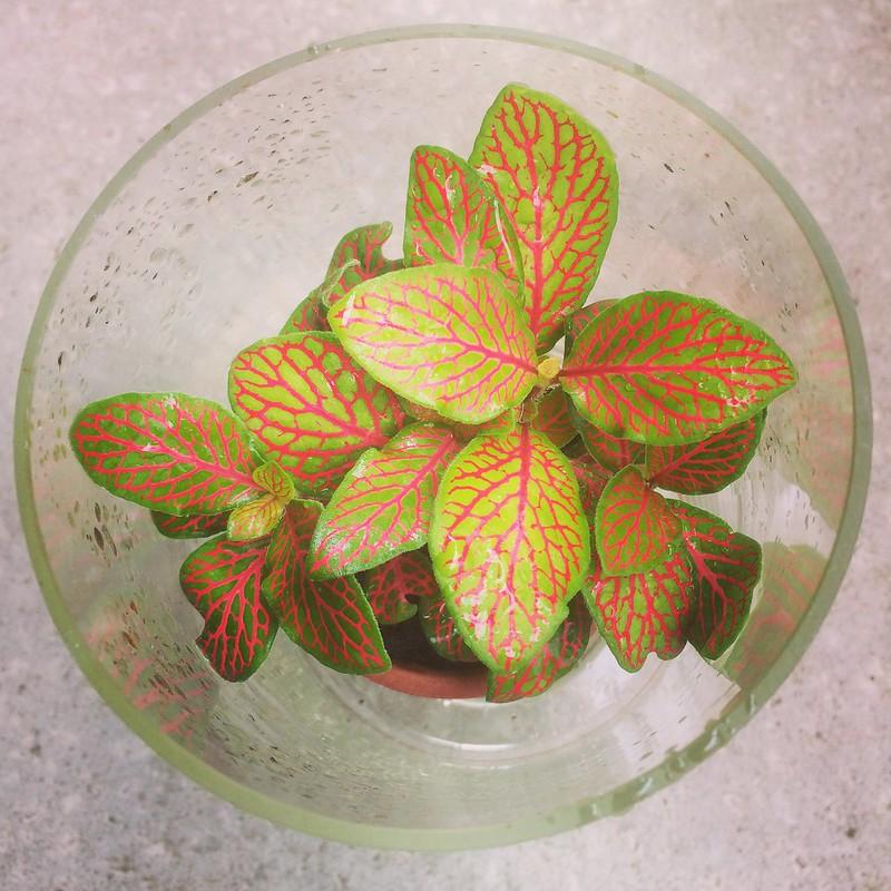Kamerplant Fittonia