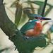 Parkhall Lake Kingfisher