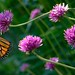 Monarch on Pink by Mountain Man JC13
