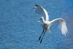 Spatule blanche - Platalea leucorodia (Le Teich, Gironde)