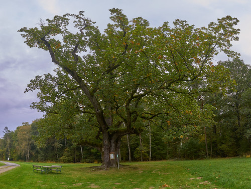 eiche oak badblumau wald wood alt old naturdenkmal landmark