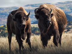 Bisons at Theodore Roosevelt N.P. North Unit