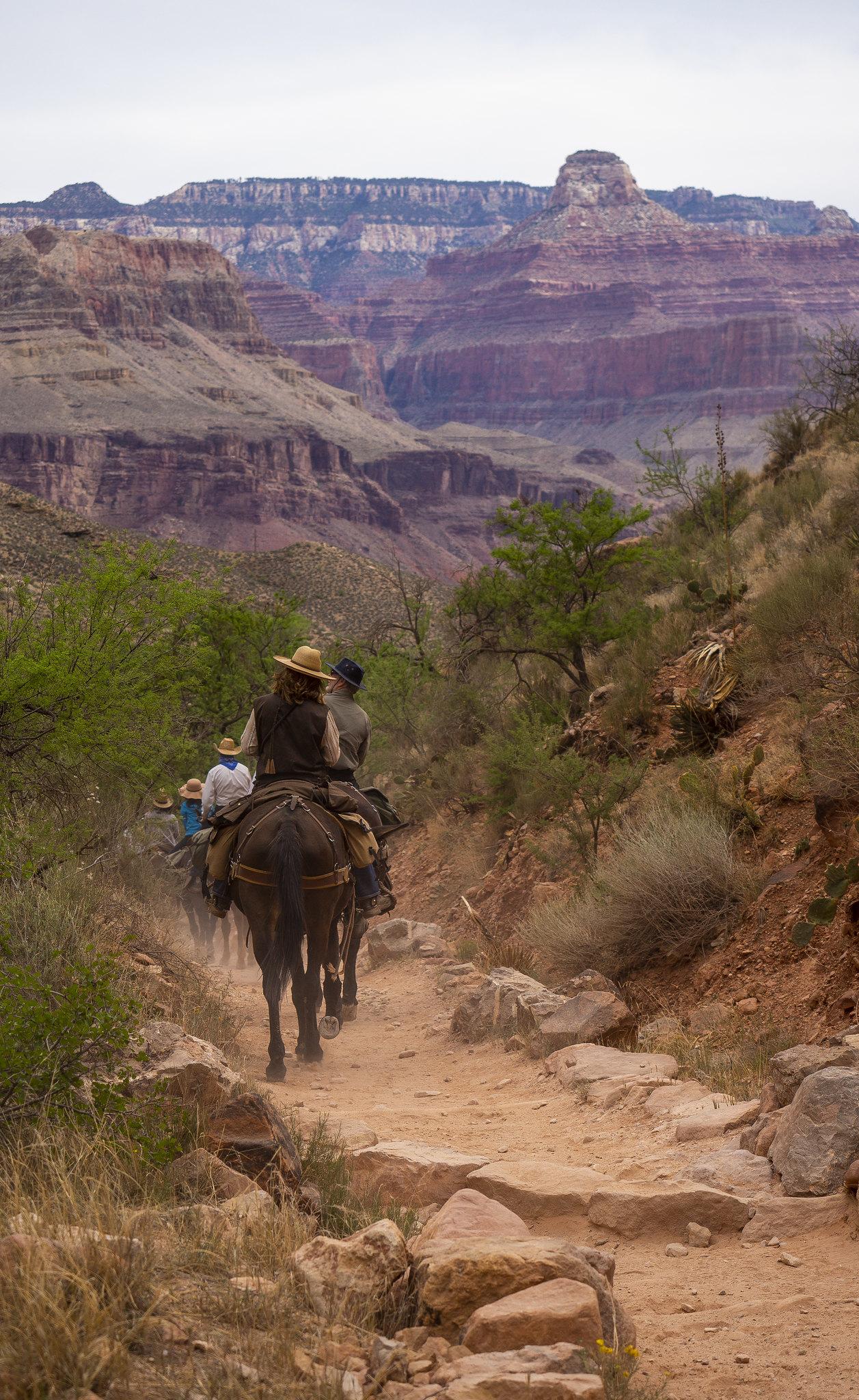 Grand Canyon Mules