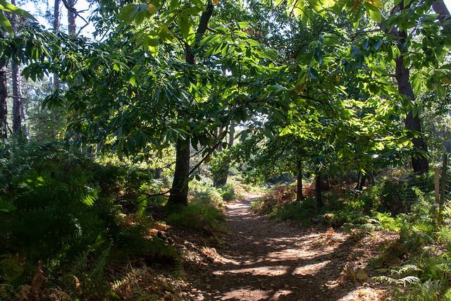 Woodland Walk, Brownsea Island II