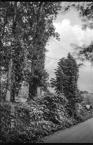 kudzu trees talltrees landscape powerlines craggyavenue asheville northcarolina leicac1 rolleirxp400 kodaktmaxdeveloper 35mm 35mmfilm film compactcamera blackandwhite monochrome monochromatic