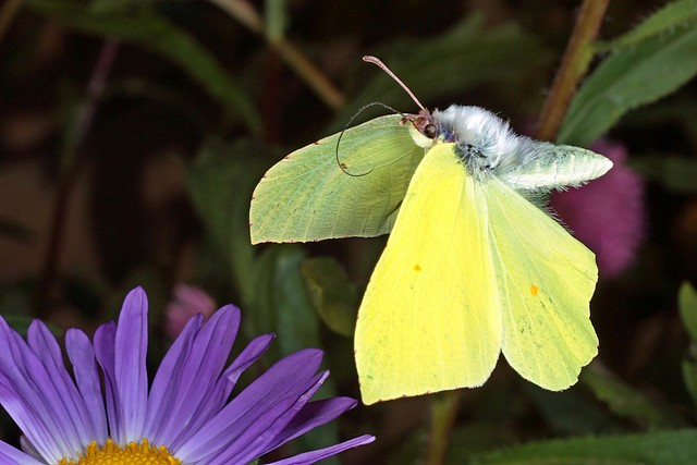 Rolf_Nagel-Fl-1766-Gonepteryx_rhamni-Male