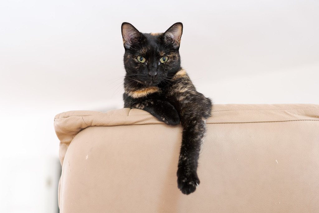 Our tortoiseshell cat Trixie sits at the top of the chair looking backwards