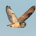 Short-eared Owl (Asio flammeus) by Don Delaney