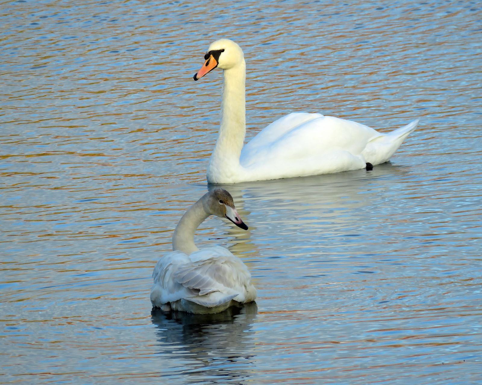 Whooper Swan - Cygnus cygnus & Mute Swan - Cygnus olor