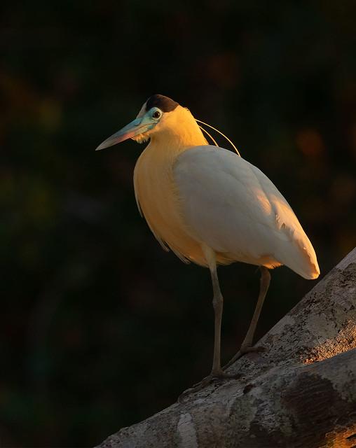 capped-Heron