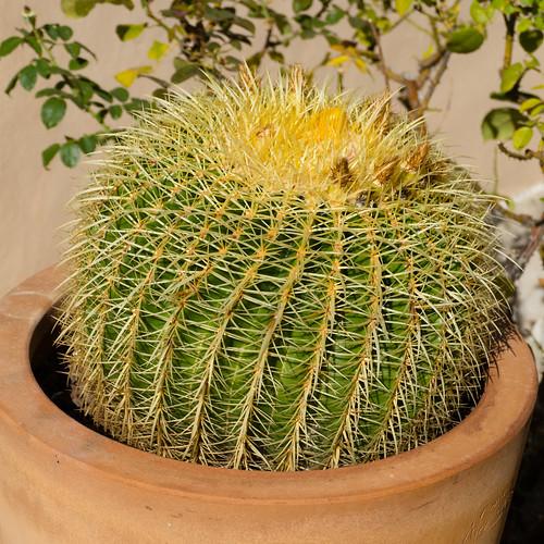 Roadside cactus, Cassis