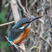 Kingfisher 181020058-3.jpg