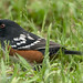 Spotted towhee by Doug Greenberg