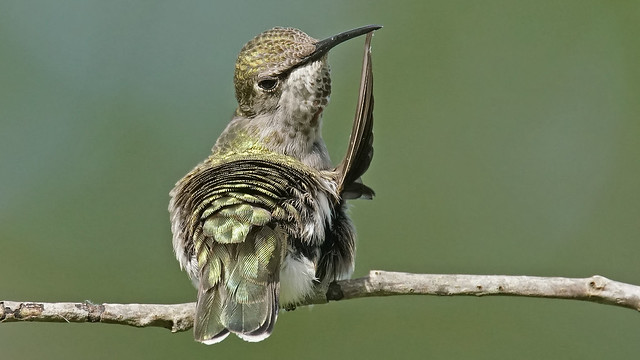 Anna Hummingbird Preening, Sony ILCA-99M2, Sony 500mm F4 G SSM (SAL500F40G)