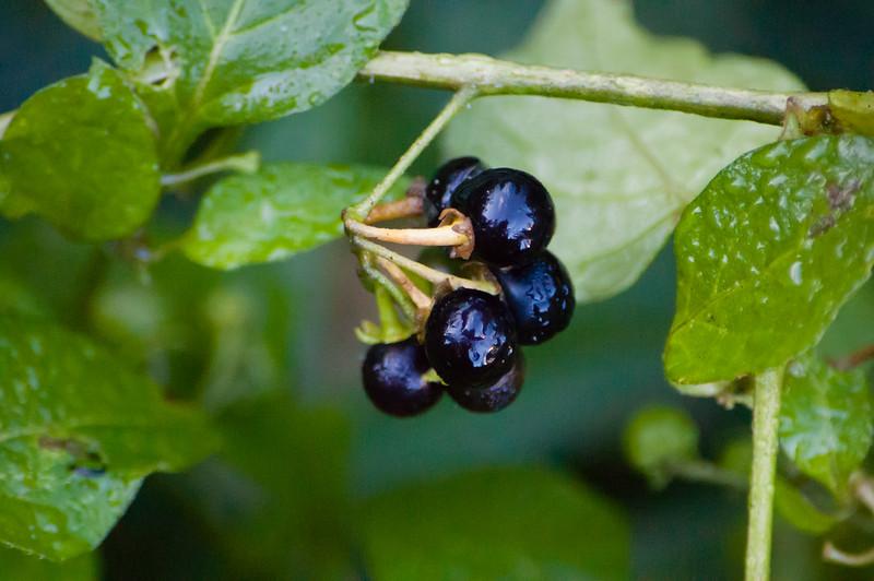 Black nightshade berries