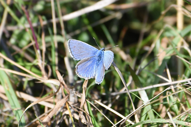 Common Blue butterfly at Warnham Nature Reserve last week
