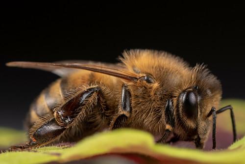 Humble Honey Bee