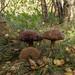 Brown Birch Bolete (Leccinum scabrum).