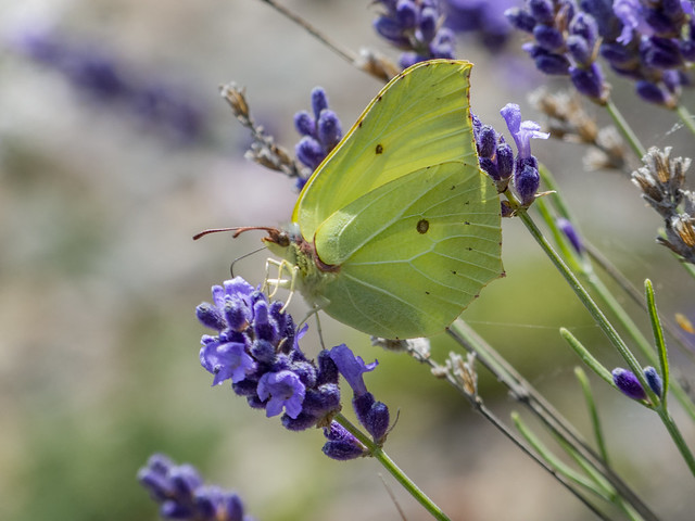 Gonepteryx rhamni -male- (Common brimstone)