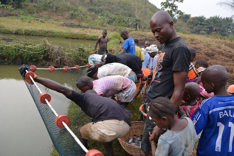 Lead farmer Abu Kargbo harvesting his pond in Kamathor community, Tonkolili District, Sierra Leone. Photo by Fatmata Binta Jalloh