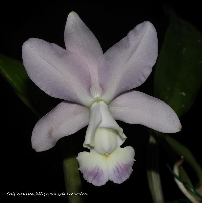 Cattleya Heathii (x dolosa) f.coerulea 45111377342_b9af4550bf_c