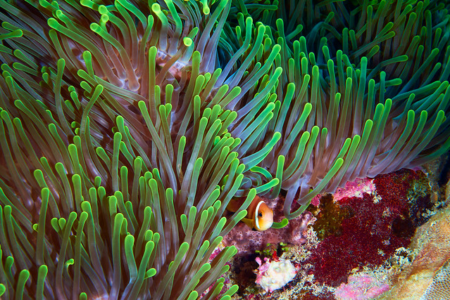 Heteractis magnifica and Amphiprion
