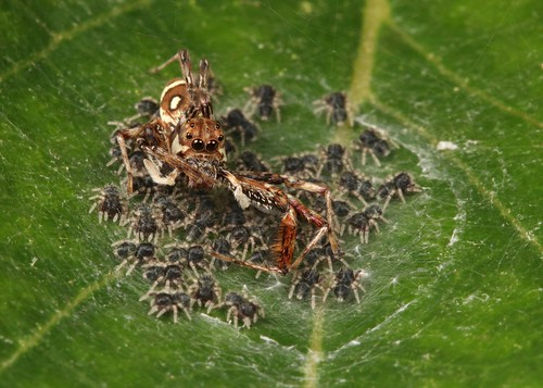 Female Jumping Spider (Brettus sp., Salticidae) and spiderlings