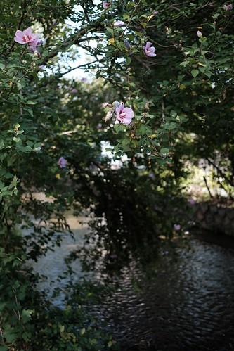 京都 高瀬川の朝
