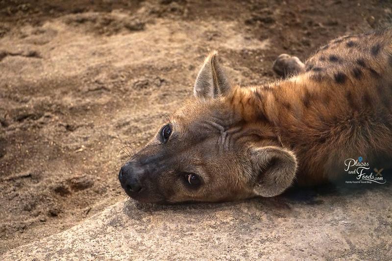 sapporo maruyama zoo hyena