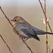 Rusty Blackbird ( Euphagus carolinus) by Don Delaney