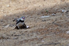 Diamond Firetail  ( a little wing stretch )