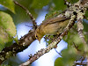 Iberian chiffchaff/Felosa-ibérica (Phylloscopus ibericus)