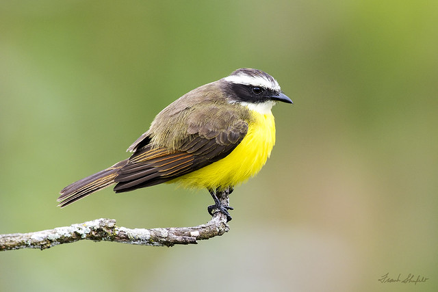 Rusty-margined Flycatcher (Myiozetetes cayanensis)