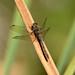 Common Darter dragonfly at Warnham Nature Reserve