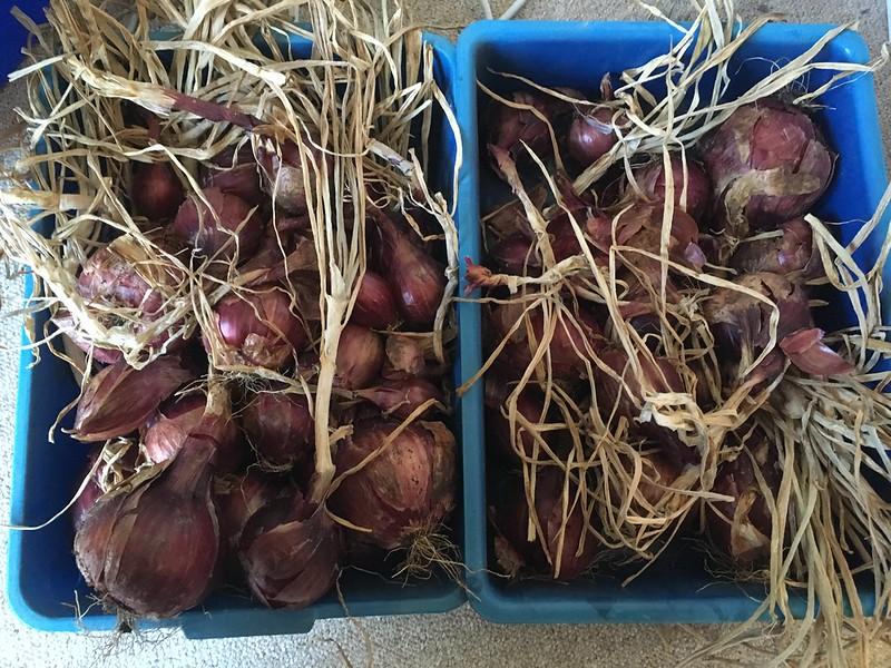 2018 onion harvest