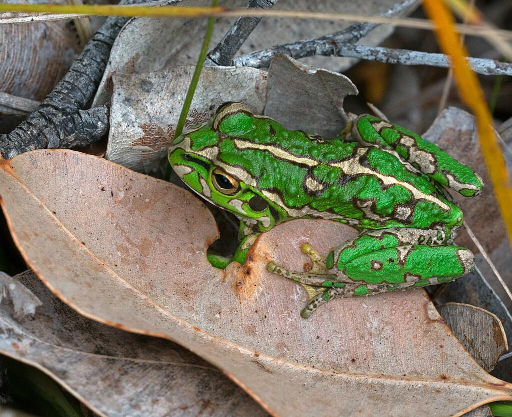 Western Green Tree Frog Denmark 12Oct18 (1) res