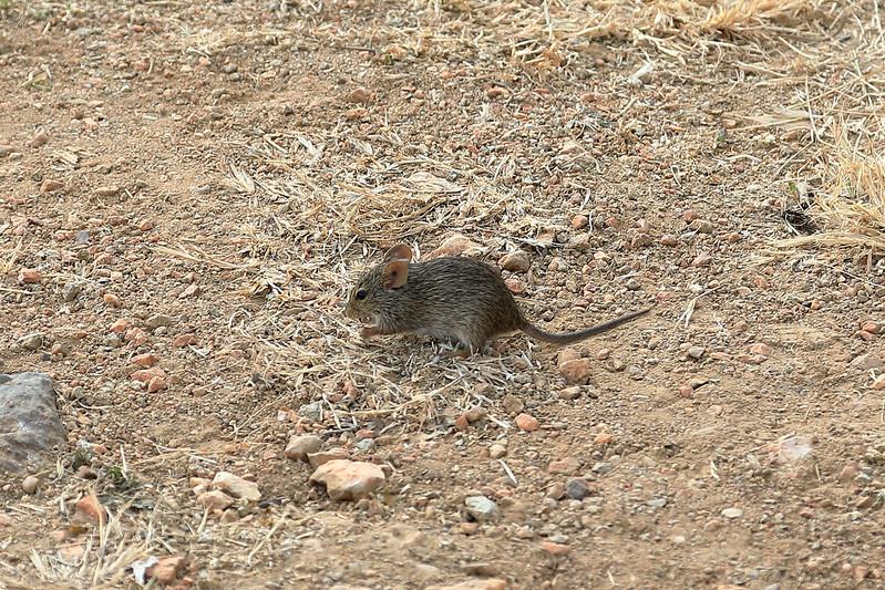 Serengeti mouse