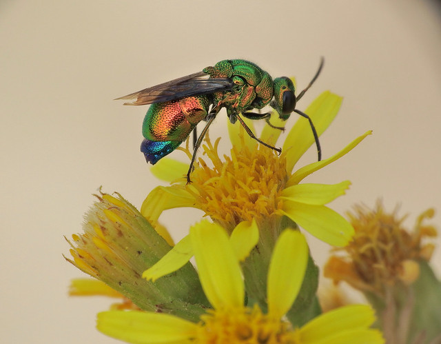 Stilbum cyanurum Jewel Wasp