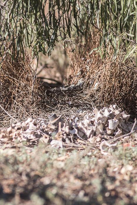 Spotted Bowerbird bower