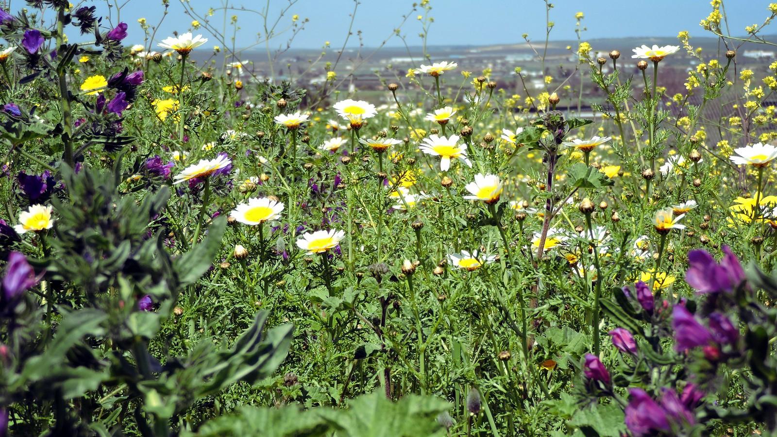 Chrysanthèmes couronnés et Vipérines
