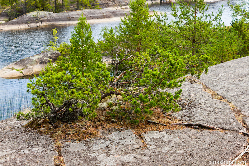Карликовая сосна-бонсай на скале, Ладожское озеро