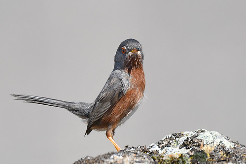 Dartford Warbler // Toutinegra do Mato