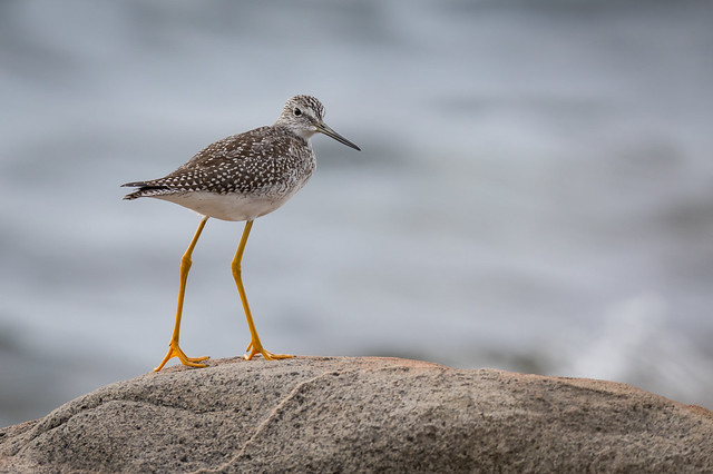 Greater Yellowlegs Tringa melanoleuca, Canon EOS 5D MARK IV, Canon EF 800mm f/5.6L IS